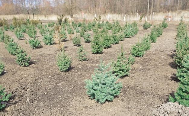 Plantatnion van jonge groene sparren kerstbomen, nordmann sparren en een andere teelt van sparren, klaar voor verkoop voor kerst en nieuwjaarsviering
