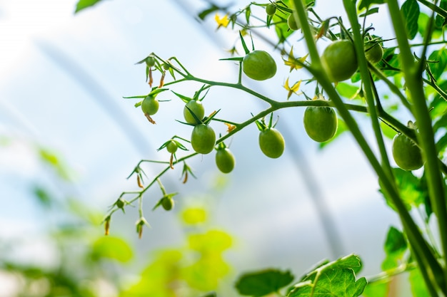 Planten groeien. tomatentakje met bloemen en kleine groene vruchten close-up op serre