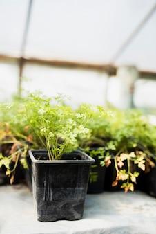 Planten in zwarte potten in kas