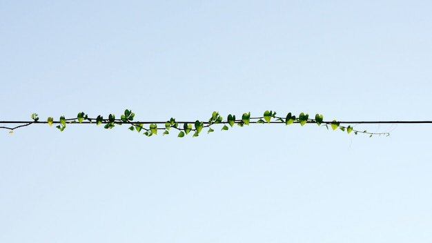 Planten klimop, wild klimmen wijnstokken op elektrische draad op blauwe hemelachtergrond