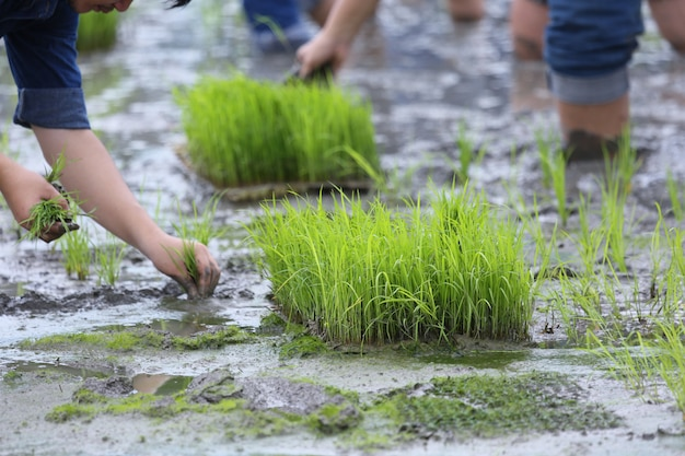 Planten op de biologische rijstlandbouwgrond
