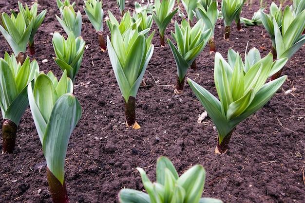Planten van de knoflook geplant voor het ontvangen van zaden die in een veld groeien
