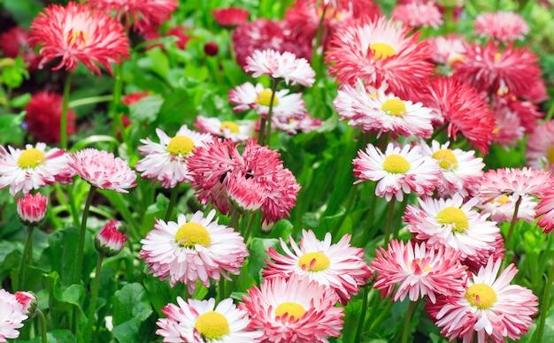 Planten van madeliefje met bloemen