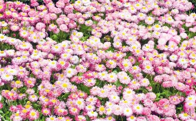 Planten van madeliefje met rood-witte bloemen