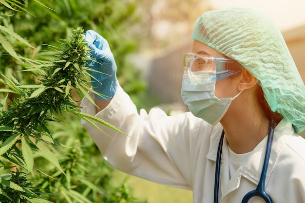 Plantwetenschapper die werkt op een sativa cannabis-landbouwboerderij voor onderzoek naar hennep voor gebruik in ziekenhuisslaap en behandeling van kankermedicatie