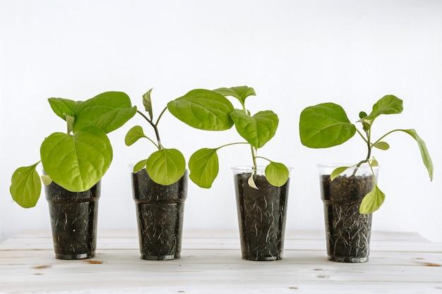 Plastic beker met aarde, die jonge groene aubergines voor zaailingen bevat. jonge zaailingen worden op een houten oppervlak geplaatst