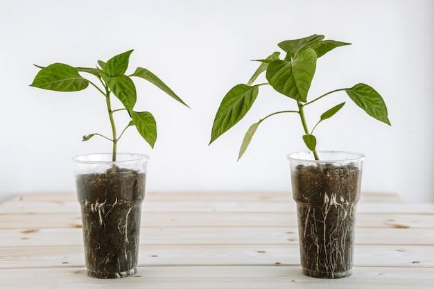 Plastic beker met aarde, die jonge groene paprika's bevat voor zaailingen. jonge zaailingen bevinden zich op een houten oppervlak