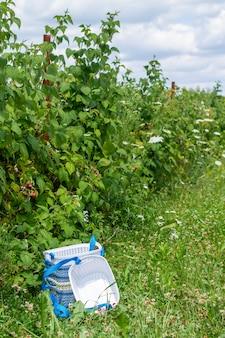 Plastic manden met rijpe frambozen. bessen oogsten