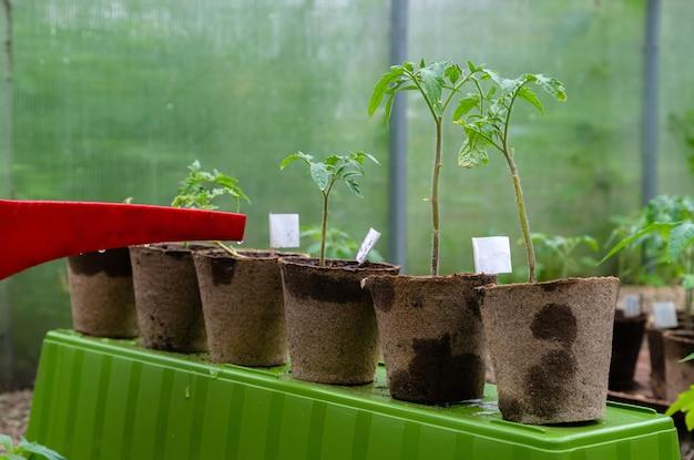 Plastic strooibus of trechter die tomatenplant in de kas water geeft. biologische zelfgekweekte tomatenplanten zonder dat groenten worden bewaterd