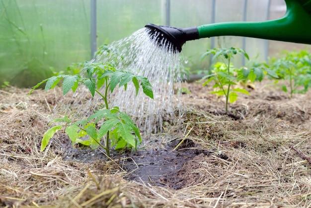 Plastic strooibus of trechter die tomatenplant in de kas water geeft. biologische zelfgekweekte tomatenplanten zonder groenten omgeven door mulch die worden bewaterd