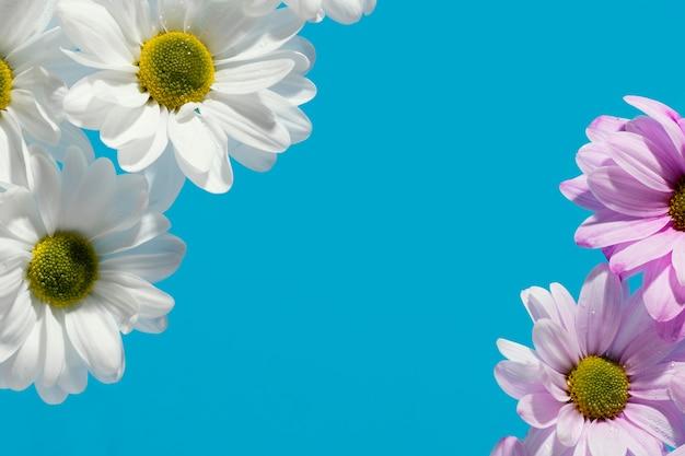Plat leggen van kleurrijke lente madeliefjes met kopie ruimte