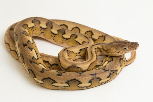 Platina tijger pythonslang met netvormig patroon