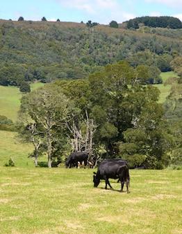 Platteland, dieren grazen