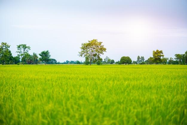 Plattelandslandschap van padieveld