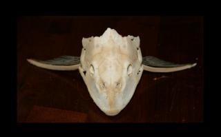 Pleco schedel