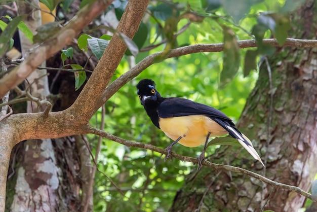 Pluche-kuif jay-vogel in het bos van iguazu falls national park