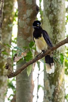 Pluche kuif jay-vogel in het bos van iguazu