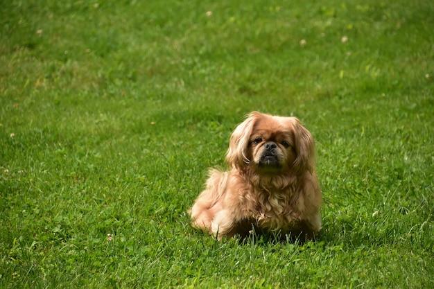Pluizig en schattig pekinees puppy hondje buiten zitten op een hete zomerdag.