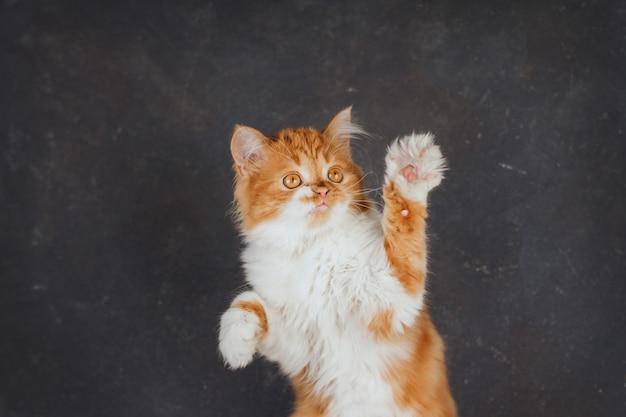 Pluizig gemberkatje op een donkergrijze achtergrond. het grappige katje hief zijn poten op.