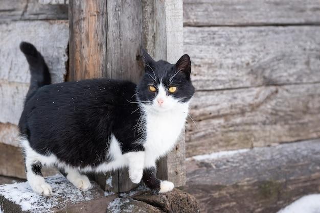 Pluizig helder katje zit in de sneeuw en kijkt in de winter naar de voorkant