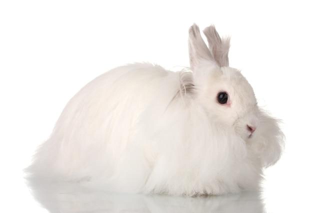 Pluizig wit konijn dat op wit wordt geïsoleerd