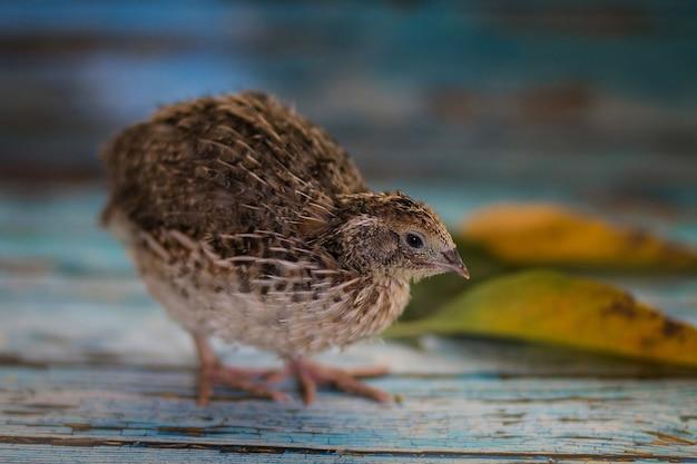 Pluizige babyvogel van een kwartel van een natuurlijke kleur op een blauwe houten tafel