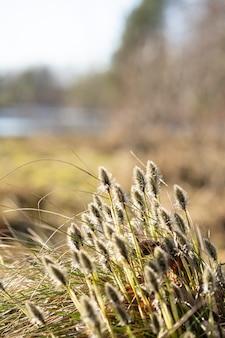 Pluizige bloem van moerasgras met zonlicht