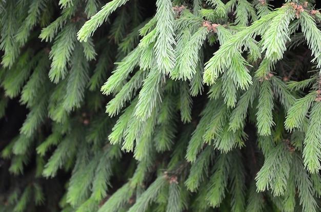Pluizige groene dichte omhooggaand van de sparrenbrunch. kerst wallpaper met copyspace