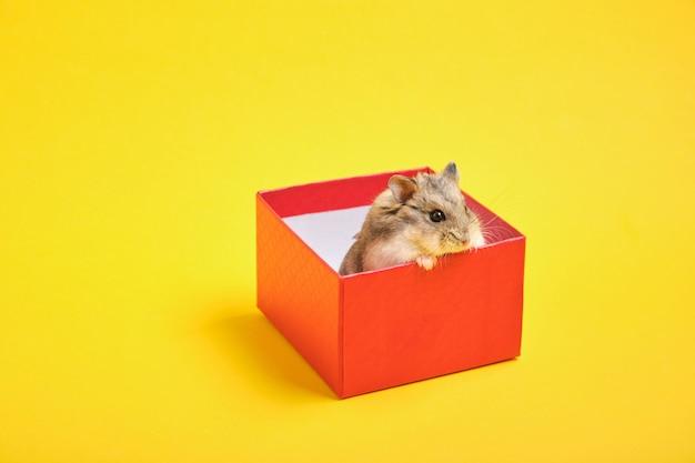 Pluizige hamster in een rode geschenkdoos op een gele achtergrond kopie ruimte