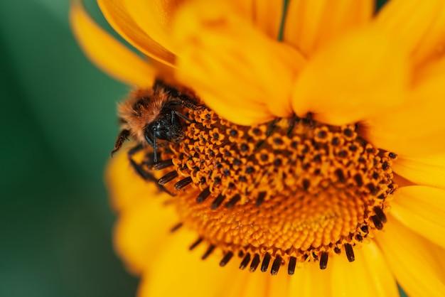 Pluizige hommel op sappige gele bloem met oranje centrum en levendige aangename zuivere bloemblaadjes