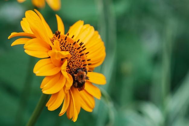 Pluizige hommel op sappige gele bloem