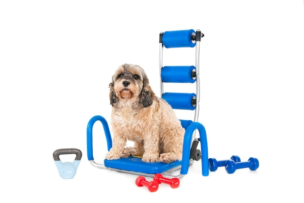Pluizige hond zittend op blauwe thuistrainingsinstrumenten met verschillende dumbbells eromheen