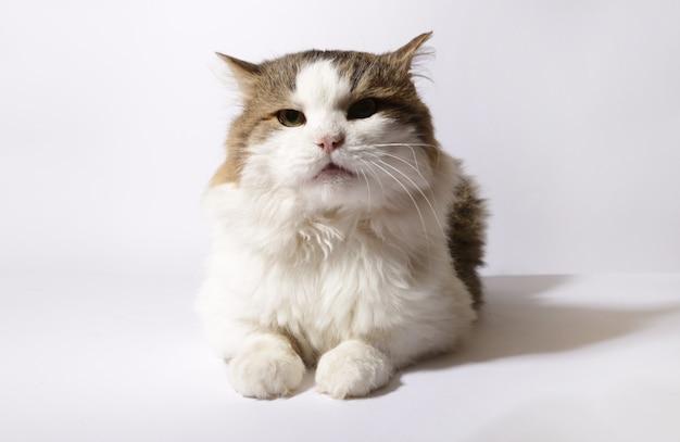 Pluizige kat op een witte achtergrond