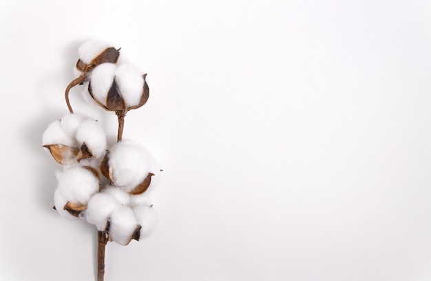 Pluizige katoenen tak op witte achtergrond.
