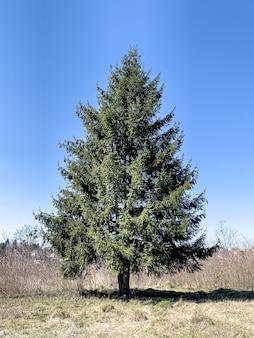 Pluizige levende boom in een open ruimte tegen de achtergrond van de lucht.