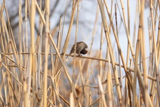 Pluizige mus in het riet op een warme lentedag
