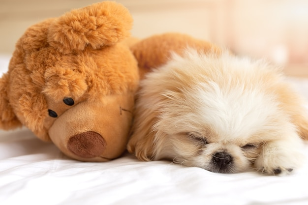 Pluizige pekines puppy slaap op comfort witte deken omhelzing knuffel teddybeer speelgoed beste briends knuffelen