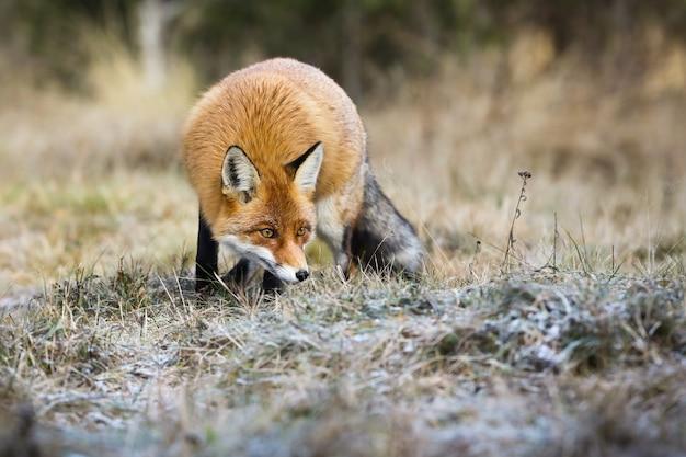 Pluizige rode vos, vulpes vulpes, jacht op weide in de herfstaard