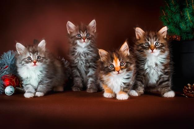 Pluizige siberische kittens met kerstversiering. bruine achtergrond