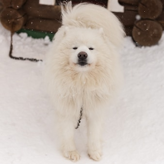 Pluizige witte hond in de sneeuw