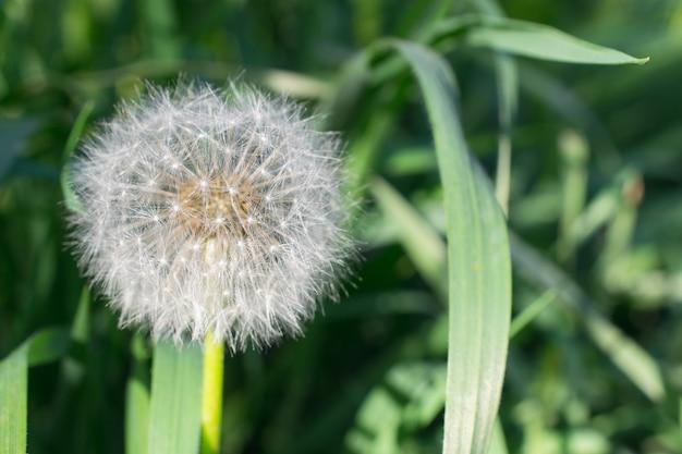 Pluizige witte paardebloembloem. blowball op groene grasachtergrond.