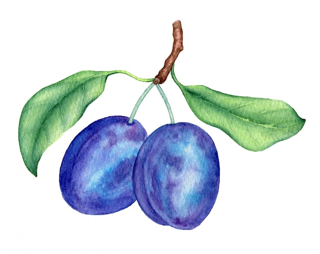Plum branch vintage aquarel botanische illustratie