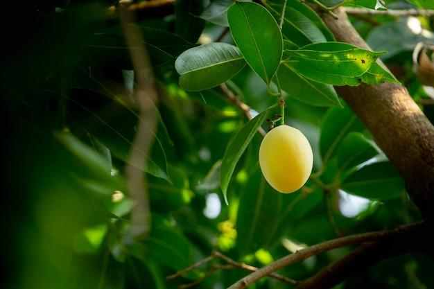 Plum mango fruit zomer. gele kleur duur maar heerlijk.