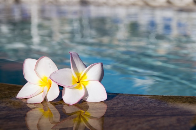 Plumeria bloeit bij het zwembad
