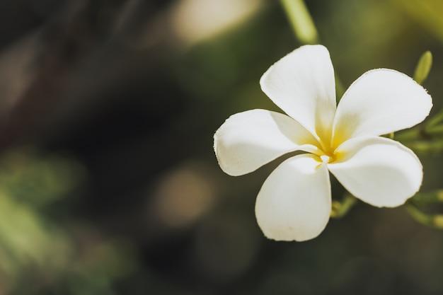 Plumeria bloem wit