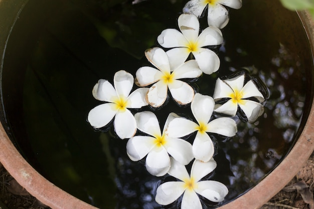Plumeria flowers in garden water bowl