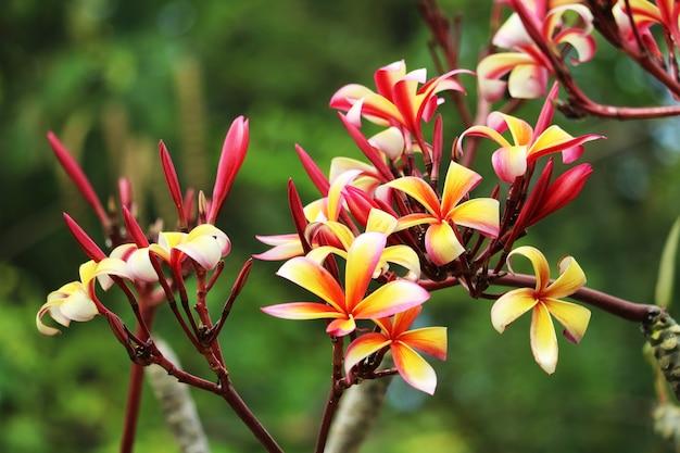 Plumeria kleurrijke boeket bloem bloeien in de tuin