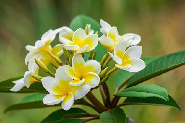 Plumeria rubra bloemen bloeien, met groene bladeren