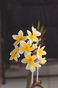 Plumeria witte en gele bloem die op huistuin bloeien