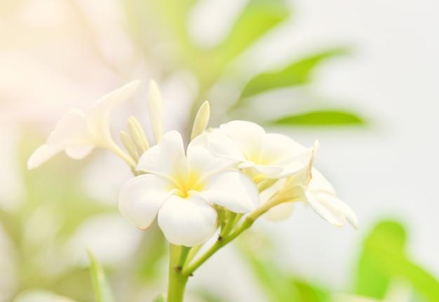 Plumeriabloem of frangipani bloeminstallatie in de tuinzomer